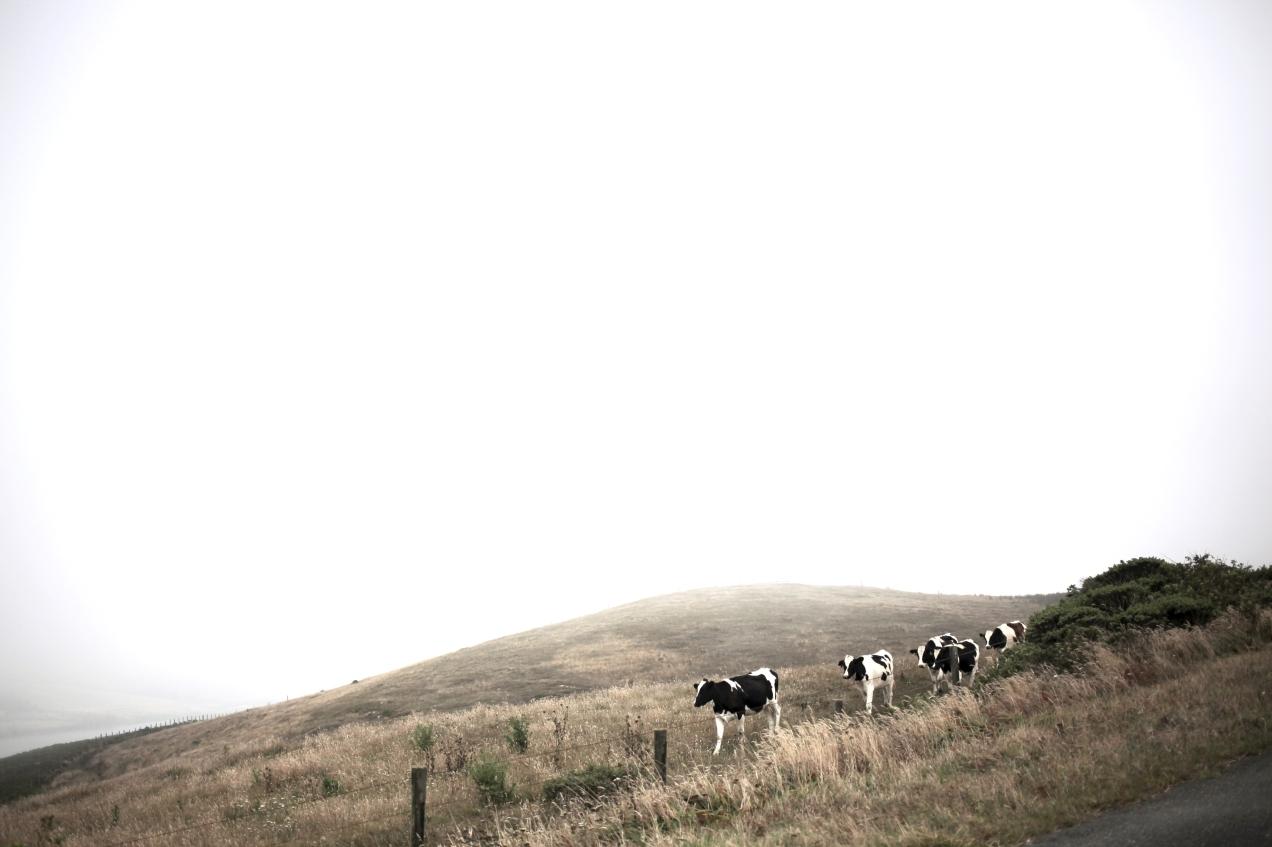 cows copy